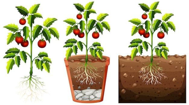 Set van tomatenplant met wortels geïsoleerd op een witte achtergrond Gratis Vector
