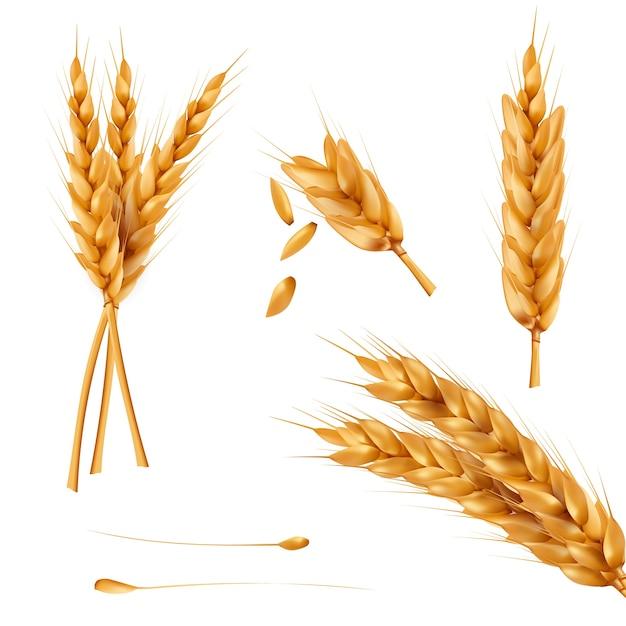 Set van vector illustraties van tarwe spikelets, korrels, taarten geïsoleerd op een witte achtergrond. Gratis Vector