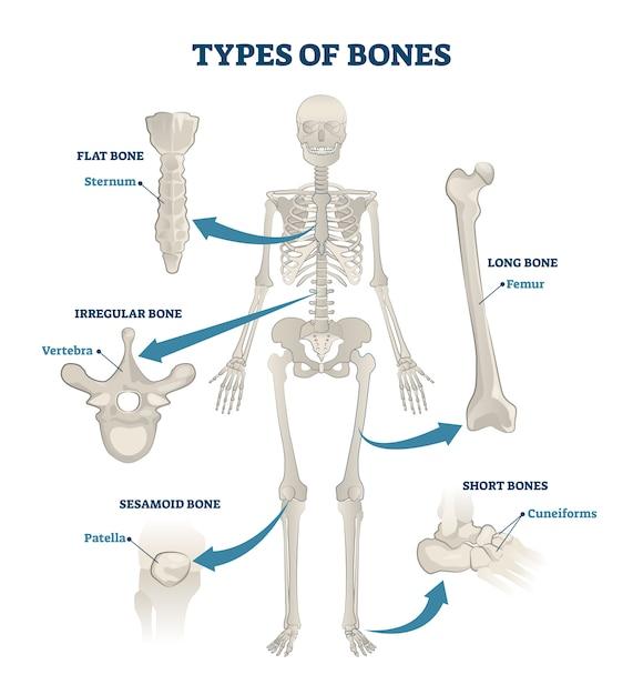 Skelet met botten Premium Vector
