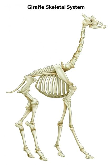 Skeletstelsel van een giraf Gratis Vector