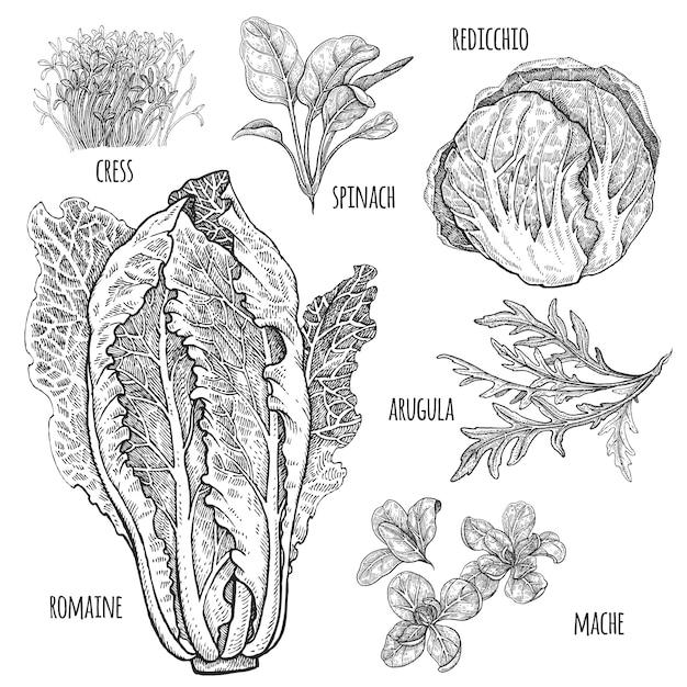 Sla set. romaine, redicchio, mache, spinazie, tuinkers, rucola. vintage illustratie. hand tekening stijl vintage gravure Premium Vector