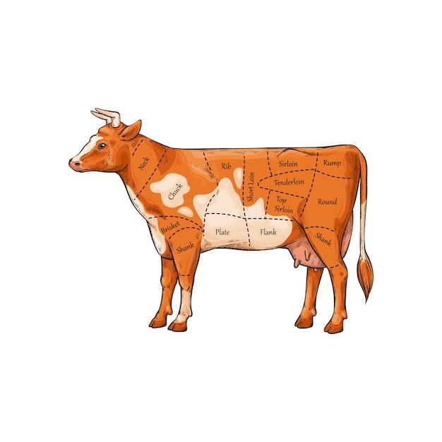 Slager diagram en schema van delen van rundvlees snijden met uitleg van inscripties. Premium Vector