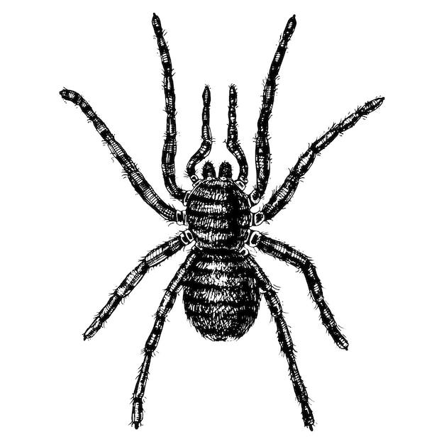 Spin of spinachtige soort, gevaarlijkste insecten ter wereld, oude vintage voor halloween of fobie. handgetekende, gegraveerd kan gebruiken voor tatoeage, web en gif zwarte weduwe, tarantula, birdeater Premium Vector
