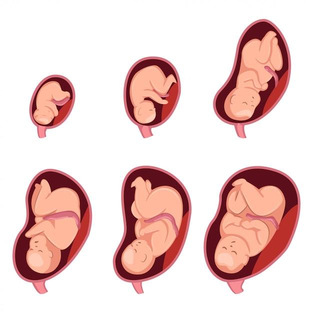 Stadia van embryonale ontwikkeling bij zwangere vrouwen Premium Vector