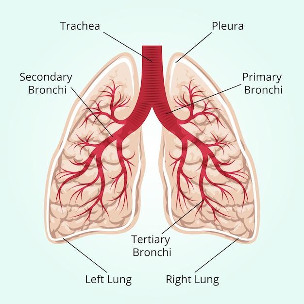 Structuur van de longen. gezondheidszorg, en pleura, middenrif en adem en thorax. Gratis Vector