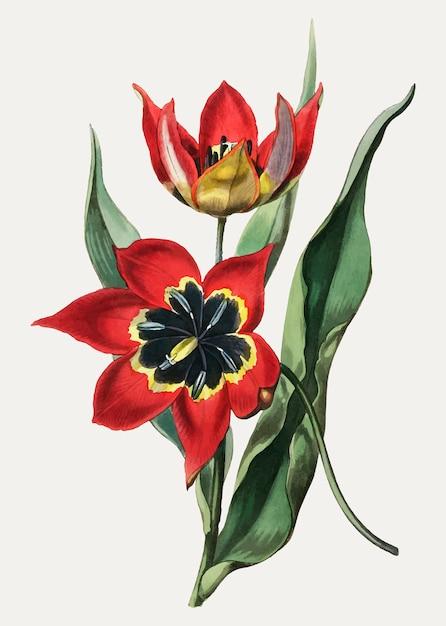 Tulp zwart en rood Gratis Vector