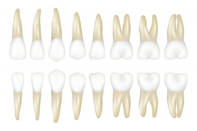 Type tand. stomatologie medische tandarts realistische witte tand illustraties Premium Vector