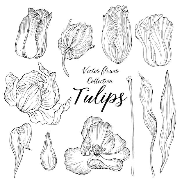 Vector grafische verzameling van bloemen en knoppen tulpen Premium Vector