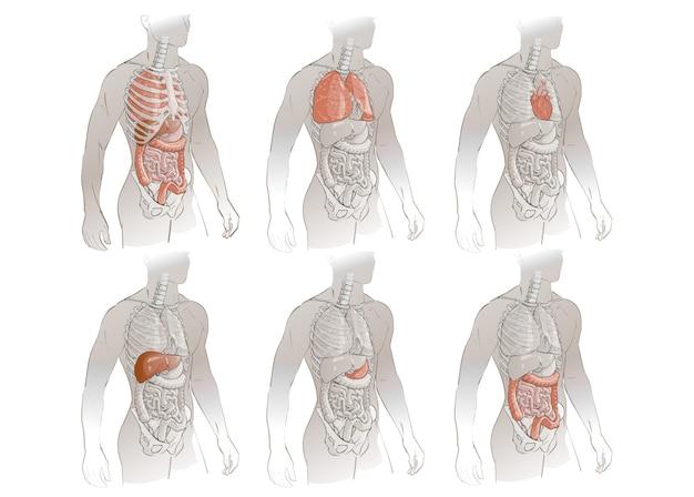 Vector menselijk lichaam anatomie Premium Vector