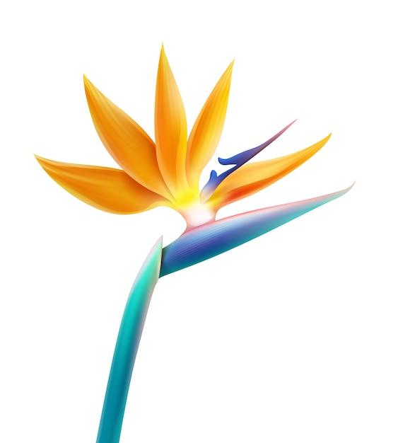 Vector tropische plant paradijsvogel bloem of strelitzia reginae geïsoleerd op een witte achtergrond Gratis Vector