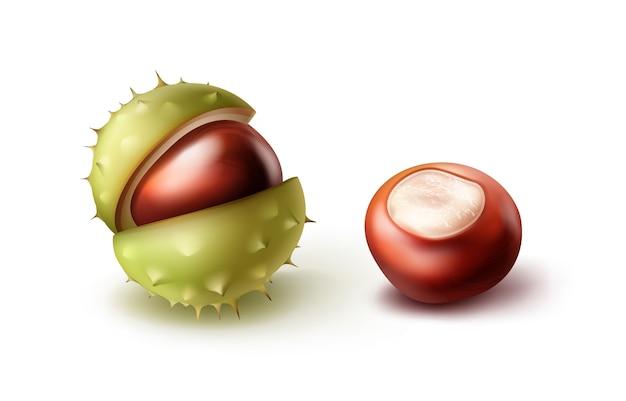 Vector twee realistische paardekastanjes met groene shell close-up zijaanzicht geïsoleerd op een witte achtergrond Gratis Vector
