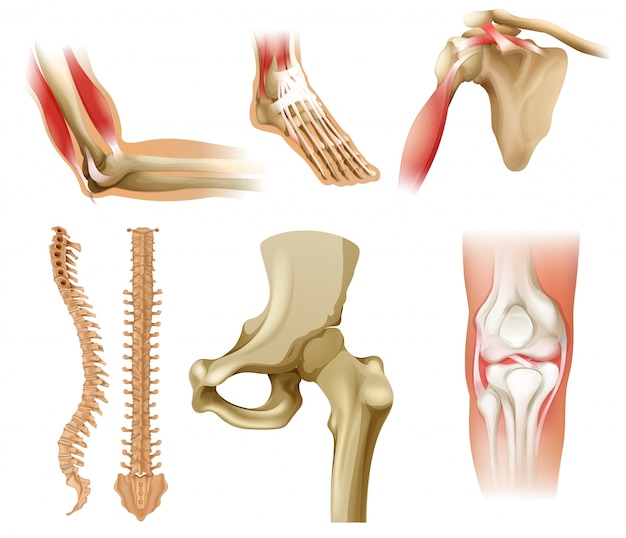 Verschillende menselijke botten Premium Vector