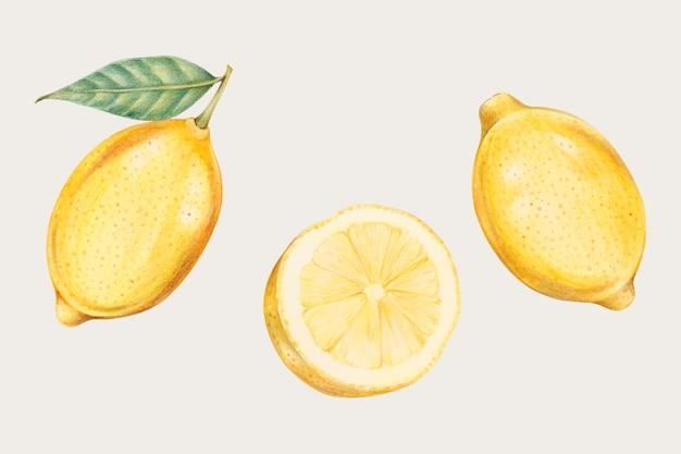 Verse citroenen in handgetekende stijl Gratis Vector