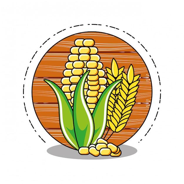 Verse maïskolf met geïsoleerde aar Premium Vector