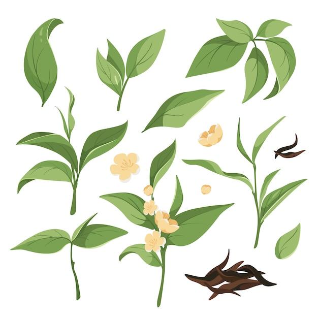 Verzameling van groene theebladeren, bloeiende takken, gedroogde zwarte thee. grafische elementen voor labels, theebladeren Premium Vector