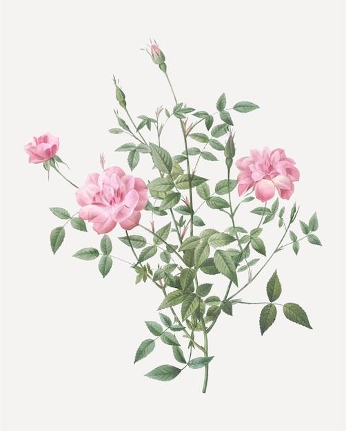 Vintage dwergroze rosebush poster Gratis Vector