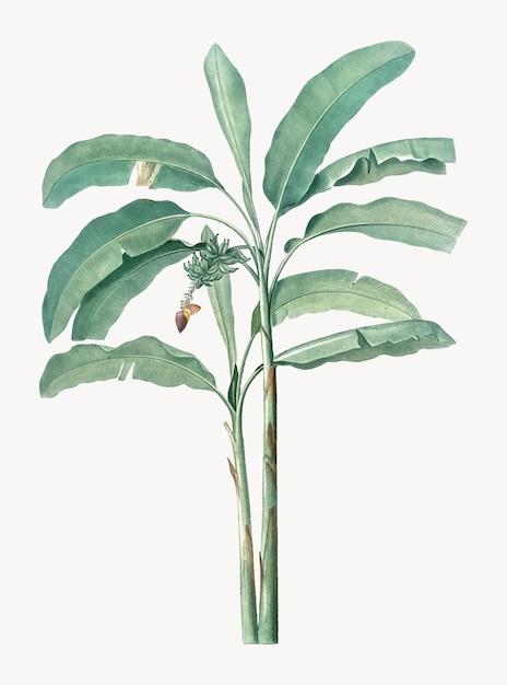 Vintage illustratie van bananenboom Gratis Vector