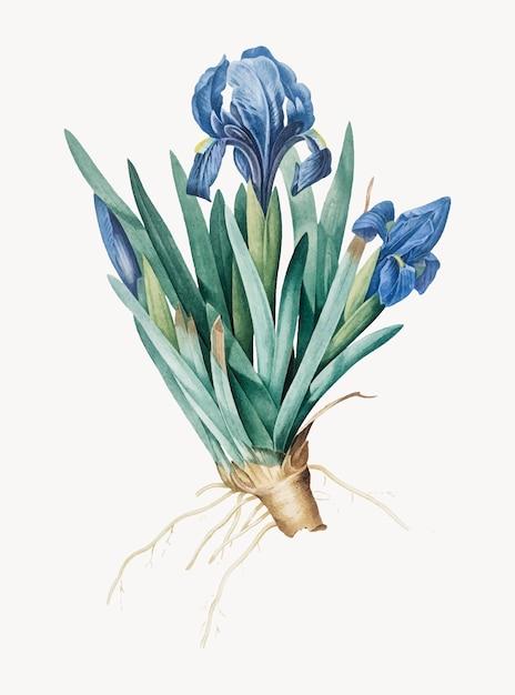 Vintage illustratie van pygmy iris Gratis Vector
