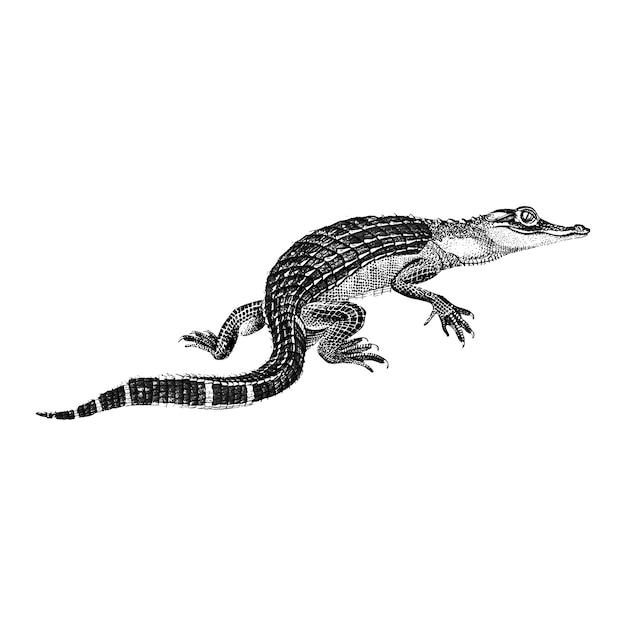 Vintage illustraties van alligator Gratis Vector