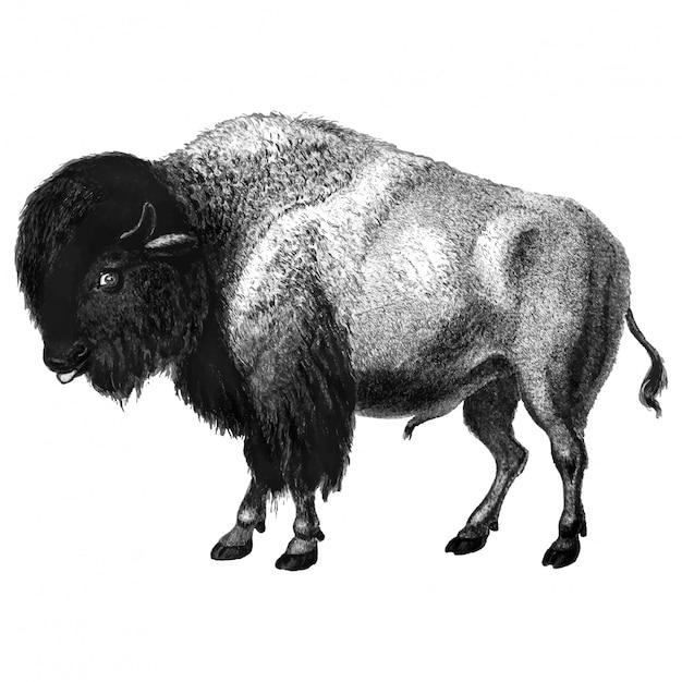 Vintage illustraties van bison Gratis Vector