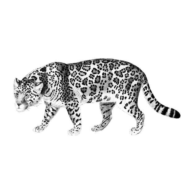 Vintage illustraties van jaguar Gratis Vector