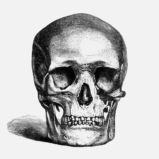 Vintage menselijke schedel illustratie Gratis Vector