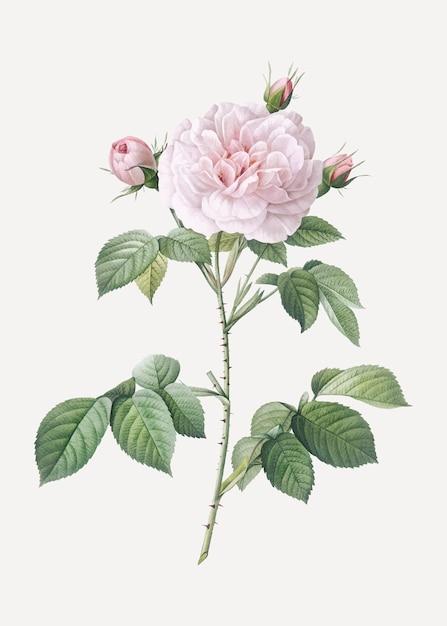 Vintage rosa alba poster Gratis Vector