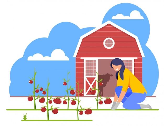Vrouw die aan tuinbed werken met rijpe tomaten Premium Vector