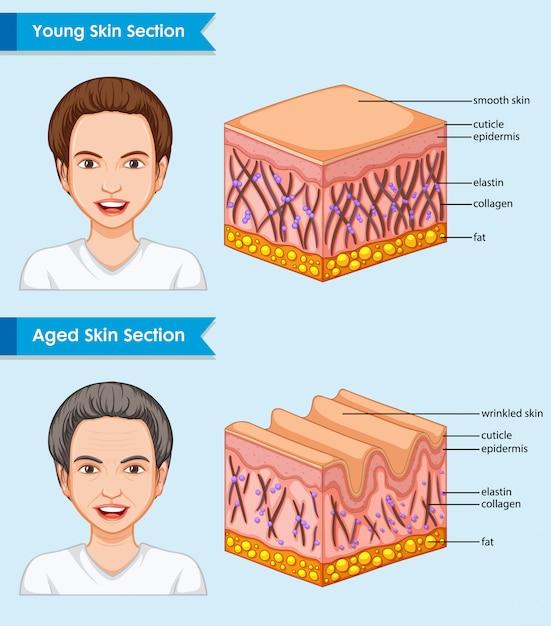 Wetenschappelijke medische illustratie van jonge en oude huid Gratis Vector