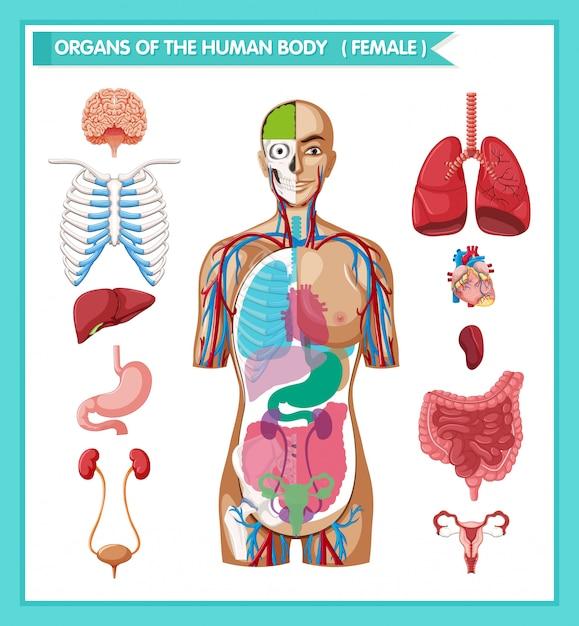 Wetenschappelijke medische illustratie van menselijke antomie Gratis Vector
