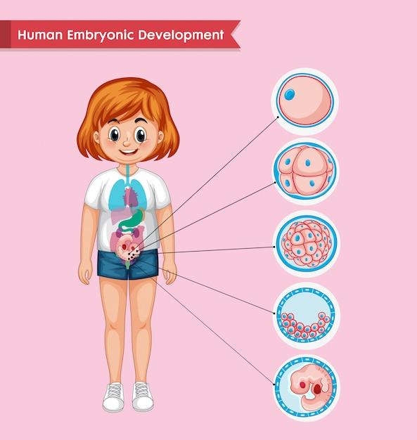 Wetenschappelijke medische infographic van menselijke embryonale ontwikkeling Gratis Vector