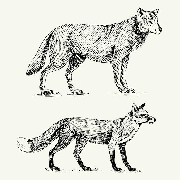 Wilde grijze wolf en rode vos gegraveerde hand getrokken in oude schetsstijl, vintage dieren Premium Vector