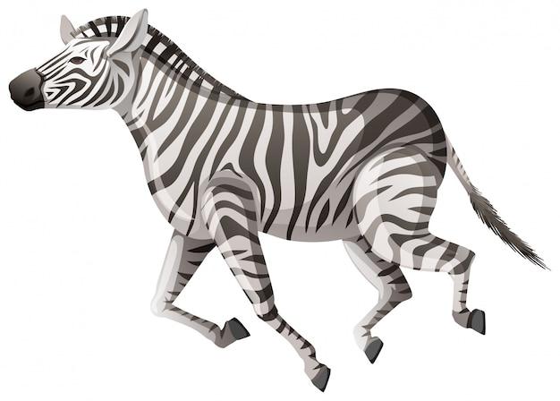 Wilde zebra die op wit loopt Gratis Vector