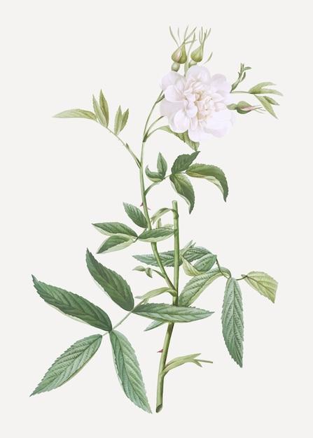 Witte roos van york in bloei Gratis Vector