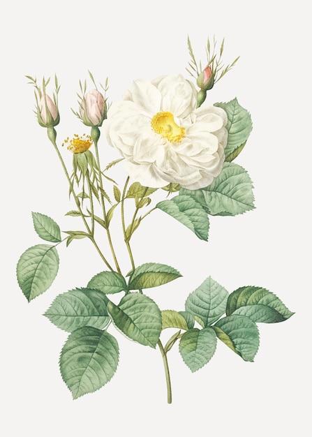 Witte roos van york Gratis Vector