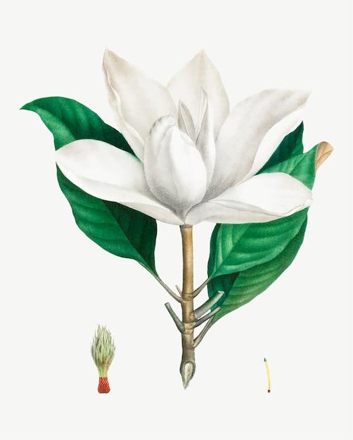 Witte zuidelijke magnolia Gratis Vector